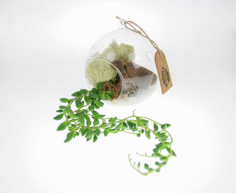 String of Pearls Terrarium Kit