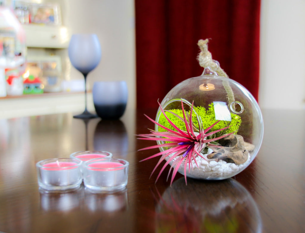 Buy Air Plant Terrarium UK