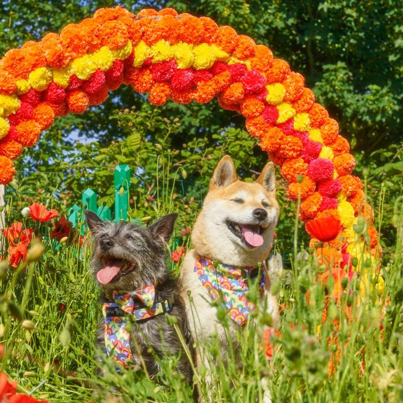 Hiro and Wolf Over the Rainbow Harness