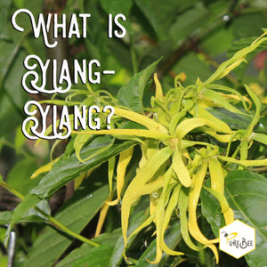 What is Ylang-ylang?