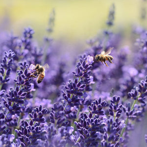 Bees flying on lavendel - learn more about the PureBee Story