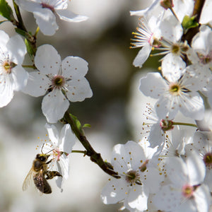 Bee on Apple tree - Frequently Asked Questions