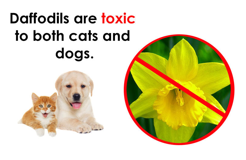 Spring Safety: Daffodils are toxic to both cats and dogs.