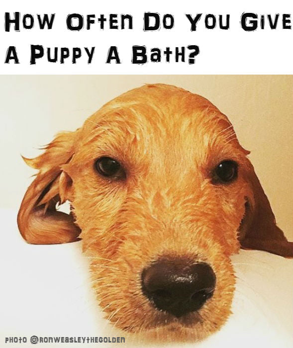 Puppy Knowledge : How Often Do You Give A Puppy A Bath?