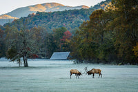 Elk in the Smokies - Art Prints by Jason Clemmons