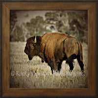 Lone Bison – Framed Giclee Canvas by Mitchell Mansanarez