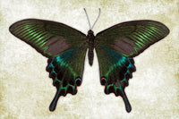 Alpine Black Swallowtail - Art Prints by Richard Reynolds
