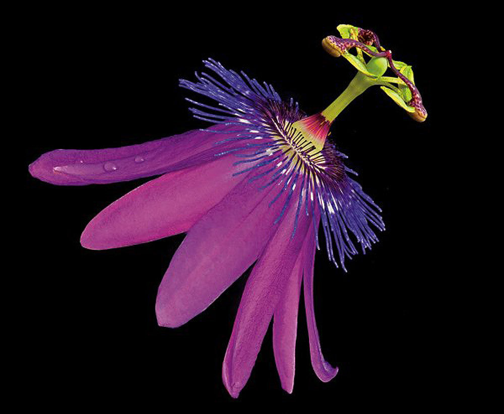 Amethyst Passionflower - Art Prints by Richard Reynolds
