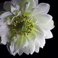 Anemone 2 - Art Prints by Richard Reynolds