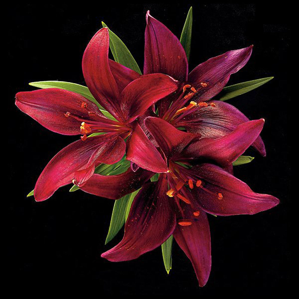 Asiatic Lily - Montenegro - Art Prints by Richard Reynolds
