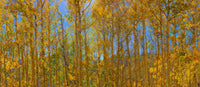 Aspen Trees - Art Prints by Richard Reynolds