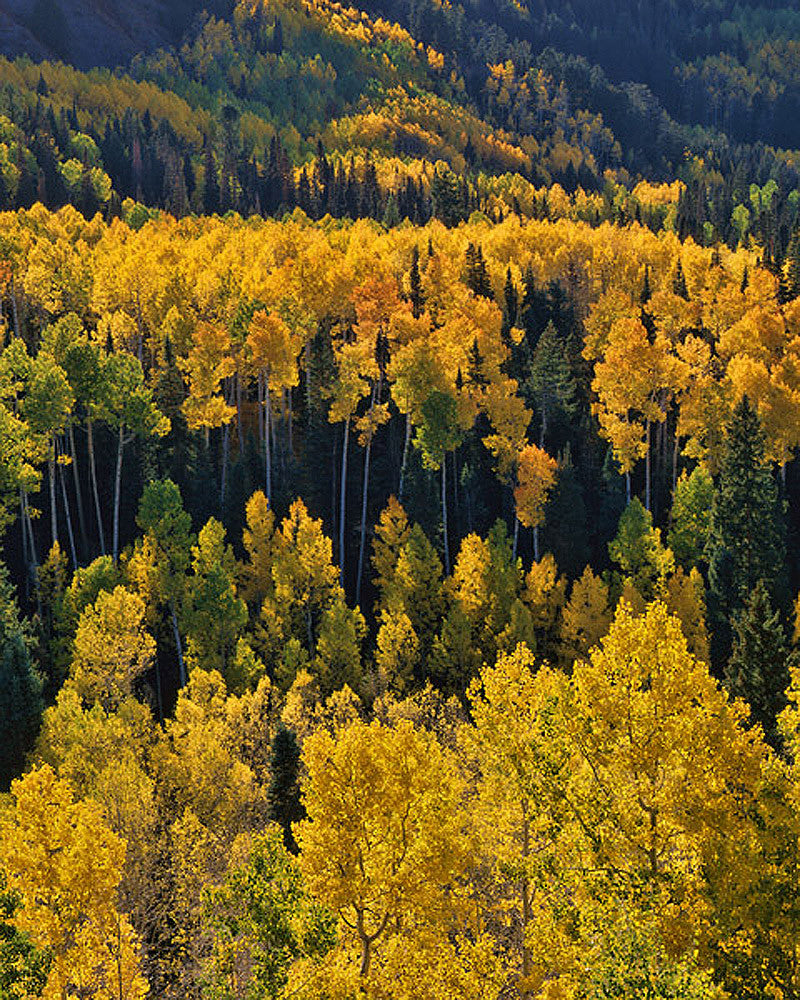 Autumn Aspens - Art Prints by Richard Reynolds