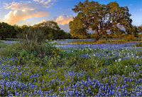 Big Oak Bluebonnets – Art Prints by Richard Reynolds