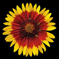 Blanketflower - Art Prints by Richard Reynolds