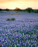 Bluebonnet Sunset – Art Prints by Richard Reynolds