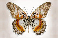 Brown Accented Butterfly - Art Prints by Richard Reynolds