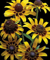 Brown Eyed Daisies - Art Prints by Richard Reynolds