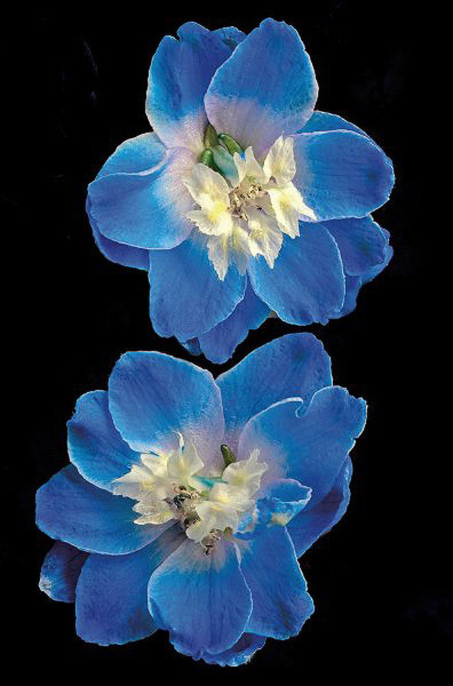 Candle Delphinium - Art Prints by Richard Reynolds