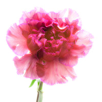 Carnation Purple - Art Prints by Richard Reynolds