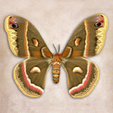 Cecropia Moth - Art Prints by Richard Reynolds