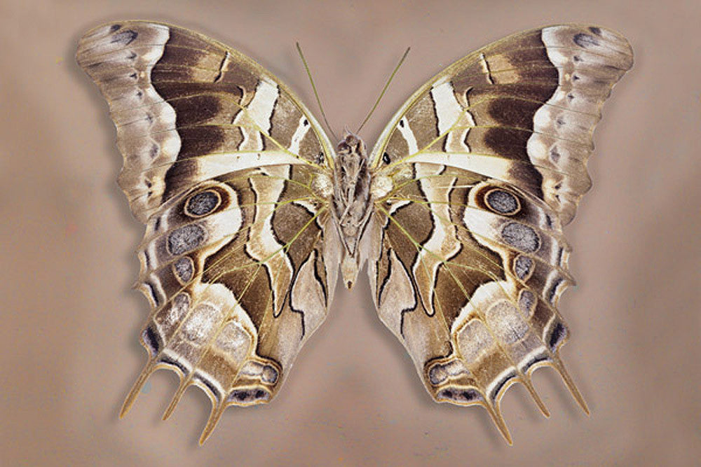 Charaxes Analava underside - Art Prints by Richard Reynolds