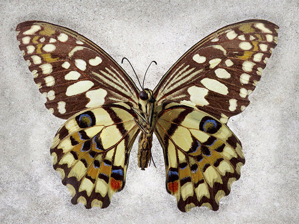 Checkered Swallowtail - Art Prints by Richard Reynolds