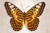 Clipper Butterfly - Art Prints by Richard Reynolds
