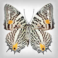 Clown Butterfly underside - Art Prints by Richard Reynolds