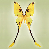Comet Moth - Art Prints by Richard Reynolds