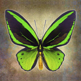 Common Green Birdwing - Art Prints by Richard Reynolds