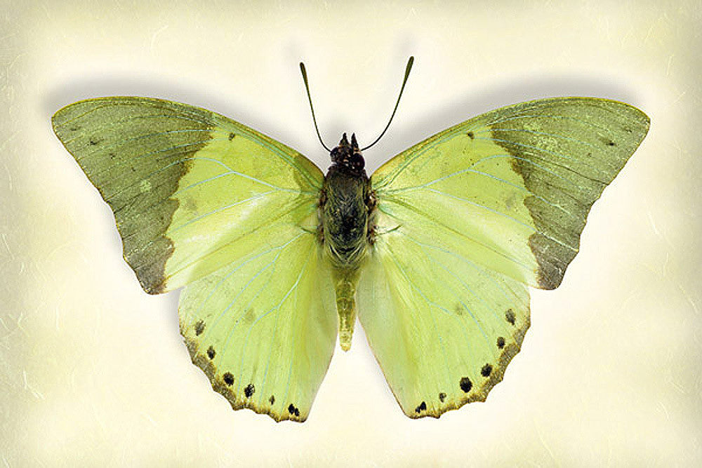 Common Green Charaxes - Art Prints by Richard Reynolds