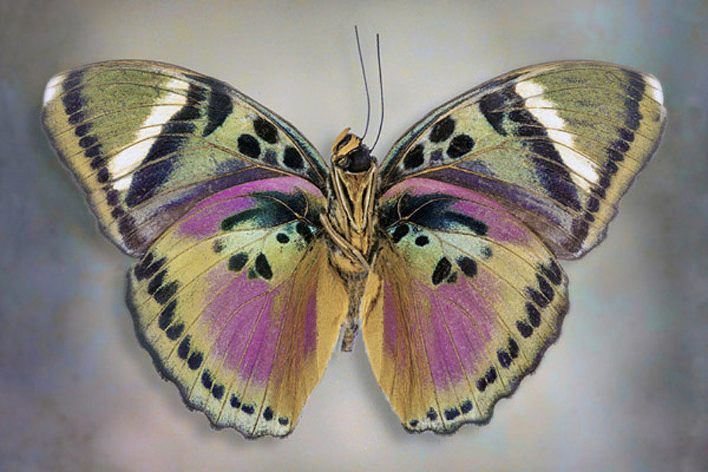 Common Pink Forester underside - Art Prints by Richard Reynolds