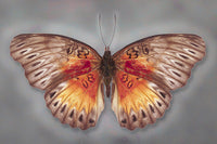 Common Red Glider - Art Prints by Richard Reynolds