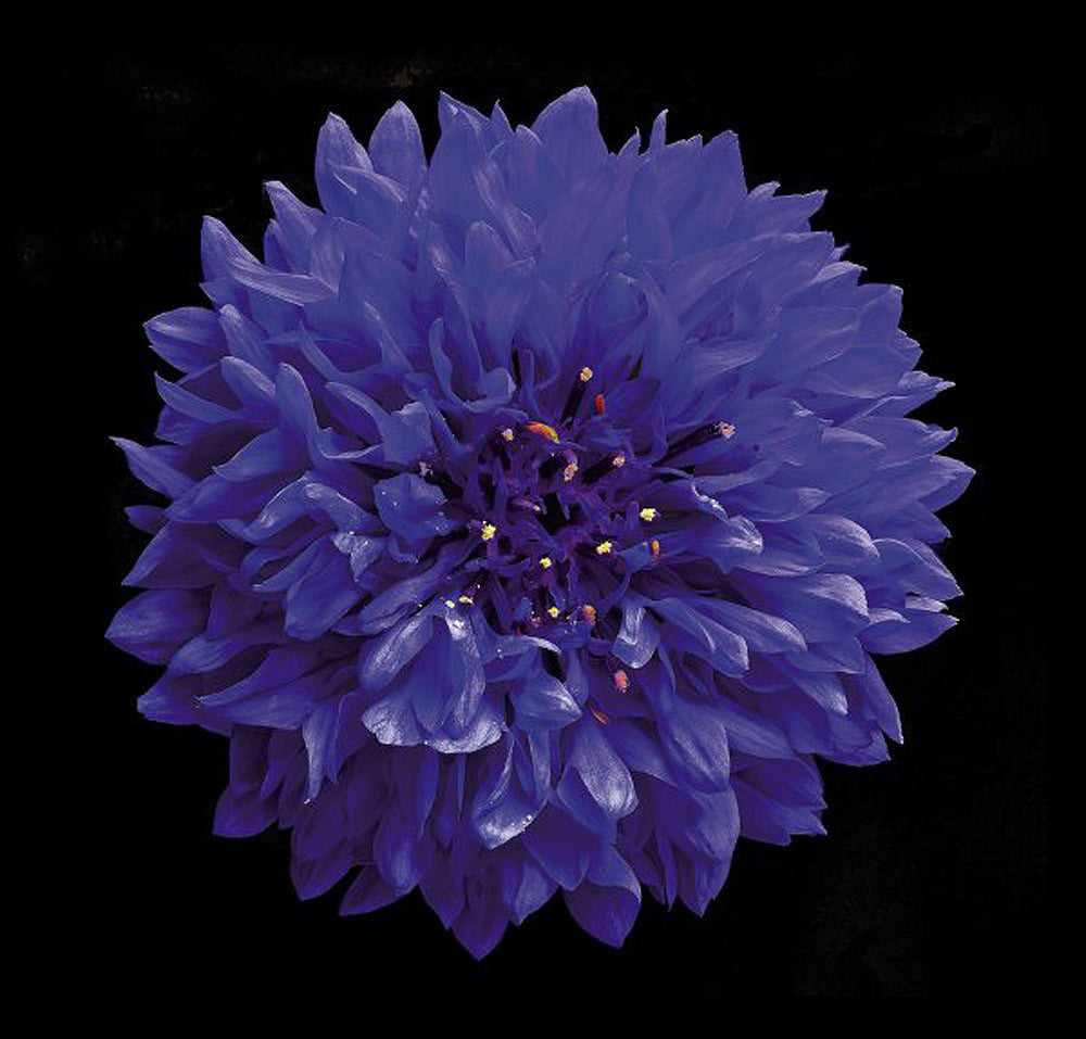 Cornflower - Art Prints by Richard Reynolds
