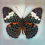 Cracker Butterfly - Art Prints by Richard Reynolds