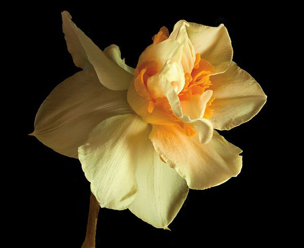Daffodil - Art Prints by Richard Reynolds