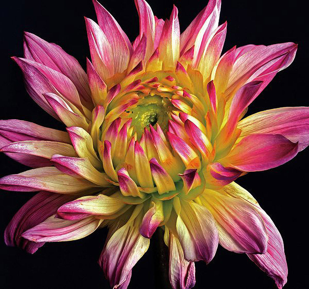 Dahlia 1 - Art Prints by Richard Reynolds