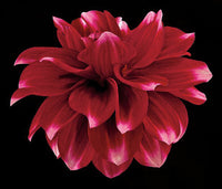 Dahlia 2 - Art Prints by Richard Reynolds