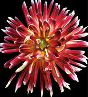 Dahlia 4 - Art Prints by Richard Reynolds