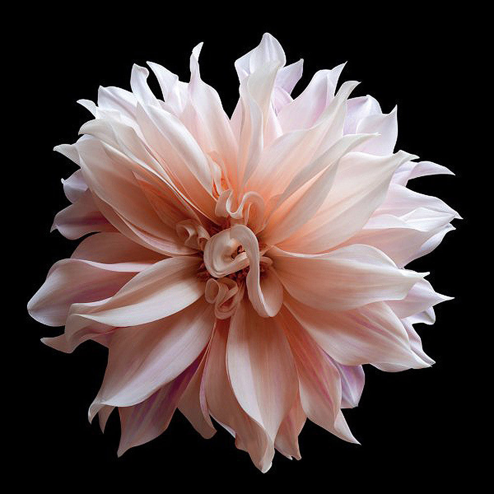 Dahlia 5 - Art Prints by Richard Reynolds
