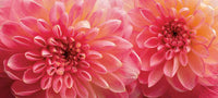 Dahlia 6 - Art Prints by Richard Reynolds