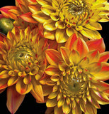 Dahlias - Art Prints by Richard Reynolds