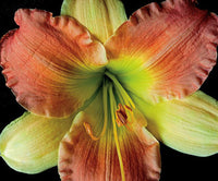 Daylily 2 - Art Prints by Richard Reynolds