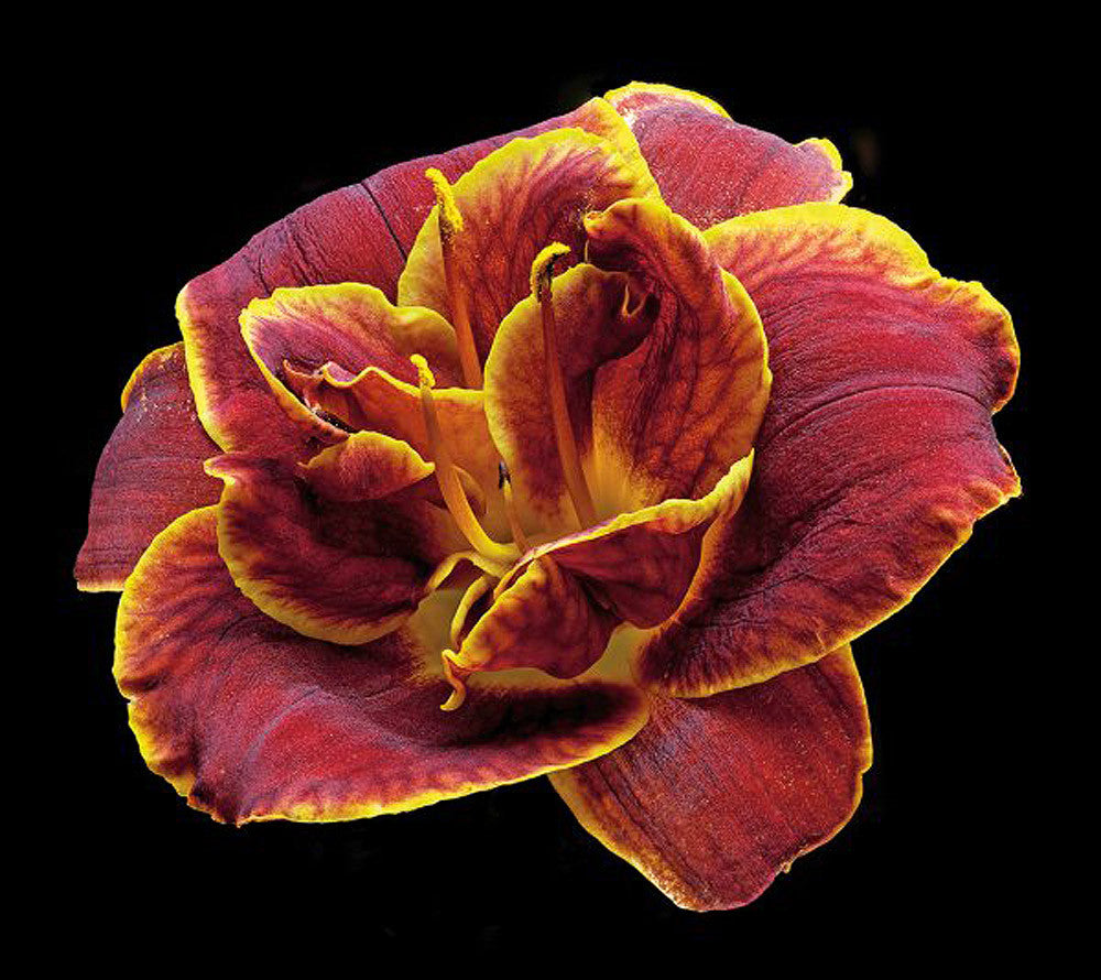 Daylily - Night Embers - Art Prints by Richard Reynolds