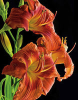 Daylily - Art Prints by Richard Reynolds