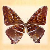 Deidama Morpho (underside) - Art Prints by Richard Reynolds