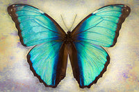 Deidamia Morpho 2 - Art Prints by Richard Reynolds