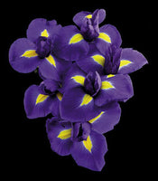 Dutch Iris - Art Prints by Richard Reynolds