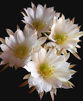 Easter Lily Cactus - Art Prints by Richard Reynolds
