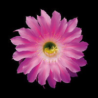 Echinopsis Cactus Hybrid Maria Piazza - Art Prints by Richard Reynolds